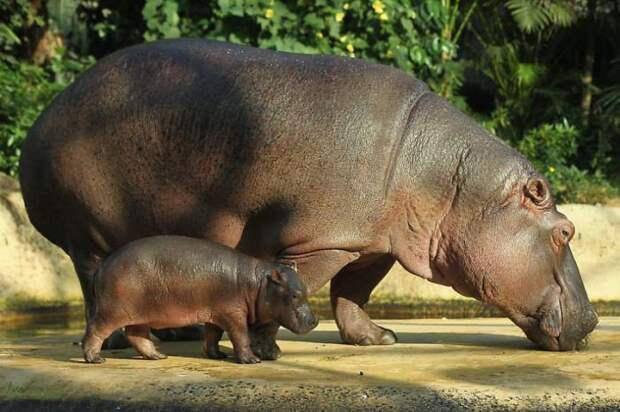 Бегемоты или гиппопотамы - добрейшие, великодушные и опасные