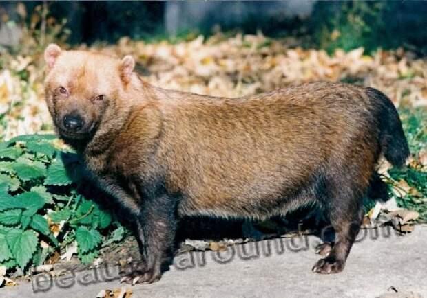 Кустарниковая собака (саванная собака)
