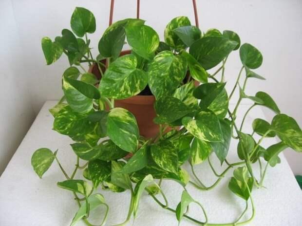 Комнатные растения. Сциндапсус
