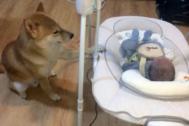 Милая сцена: сиба-ину укачивает колыбель с младенцем