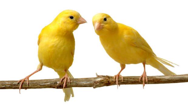 Китайцы также обожают певчих птиц. Утром в парках населённых пунктов Китая можно увидеть людей, выгуливающих своих пернатых питомцев. домашние животные, животные, интересеное, страны, факты