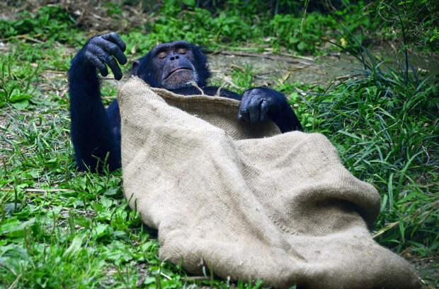 Дайте поспать. Шимпанзе в зоопарке в Чэнду, Китай.  животные, жизнь, позитив, эмоции