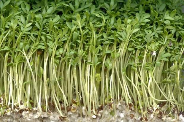 Молодые да ранние - получаем урожай через 14 дней