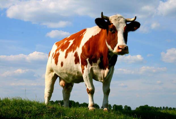Житель Бразилии погиб от упавшей на его крышу коровы