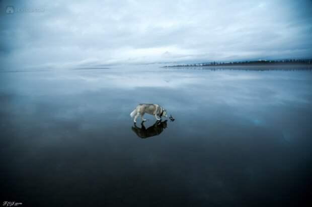 Сибирские хаски на озере (30 фотографий)