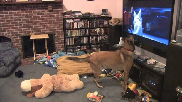Собака сходит с ума от просмотра своего любимого фильма