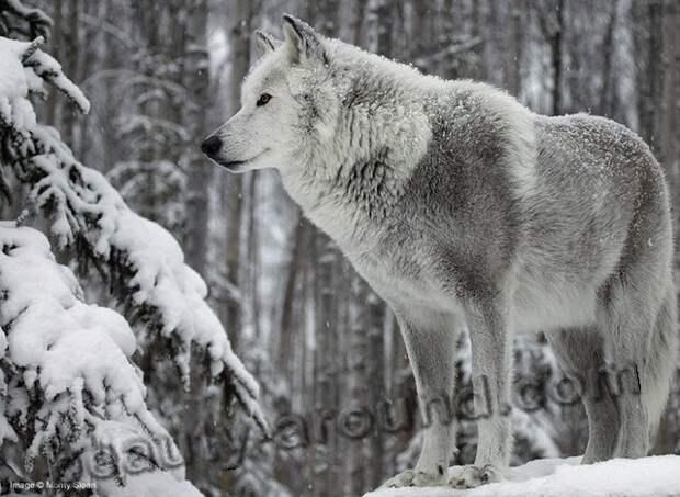 Волк (серый волк или обыкновенный волк)