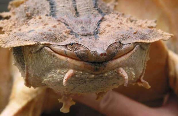 Черепаха мата-мата, Южная Америка