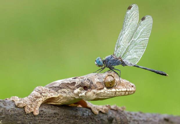 Назойливый сосед. Стрекоза приземлилась на голову геккона.  животные, жизнь, позитив, эмоции