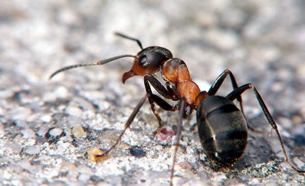 Память лесных муравьев схожа с человеческой памятью