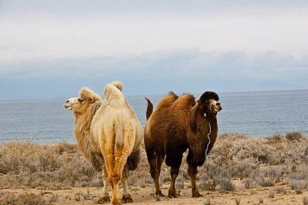 Двугорбые красавцы на берегу Иссык-Куля. Но это не зоопарк – с животными высотой больше двух метров и весом за 500 килограммов на воле лучше не заигрывать.