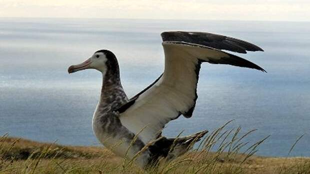 Амстердамский альбатрос (Diomedea amsterdamensis), фото птицы фотография