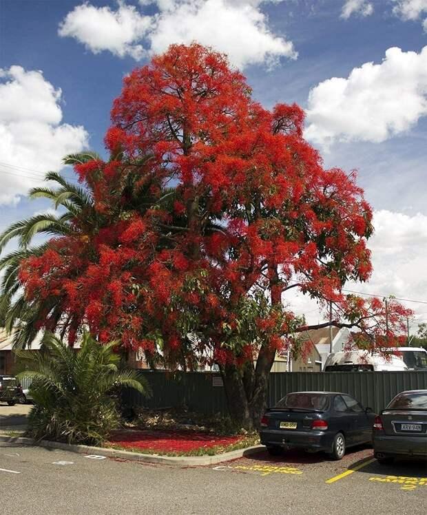 Делоникс королевский деревья, красота, природа