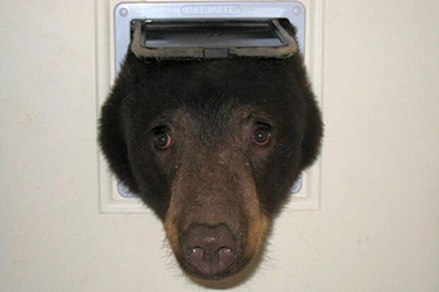 Медведь застрял в форточке и стал хитом интернета
