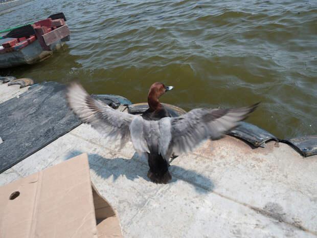 Жертва сетей, очередной страдалец Красноголовый нырок, Утка, Страдания, Спасение птицы, Длиннопост, Рыболовные сети