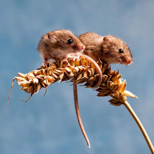 Couple O'Mice