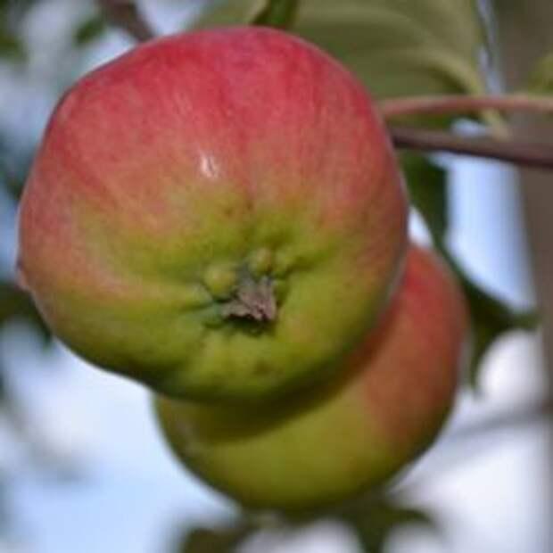 Яблоко сорт Коричное