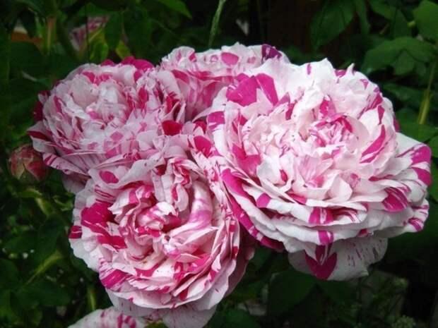 Защищаем розу от болезней