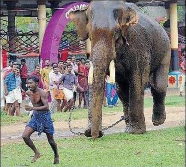 Слон погнался за индусом чтобы растоптать, но уперся бивнями в землю, и у парня появилось время на спасение авария, дтп, животные, история, родился в рубашке