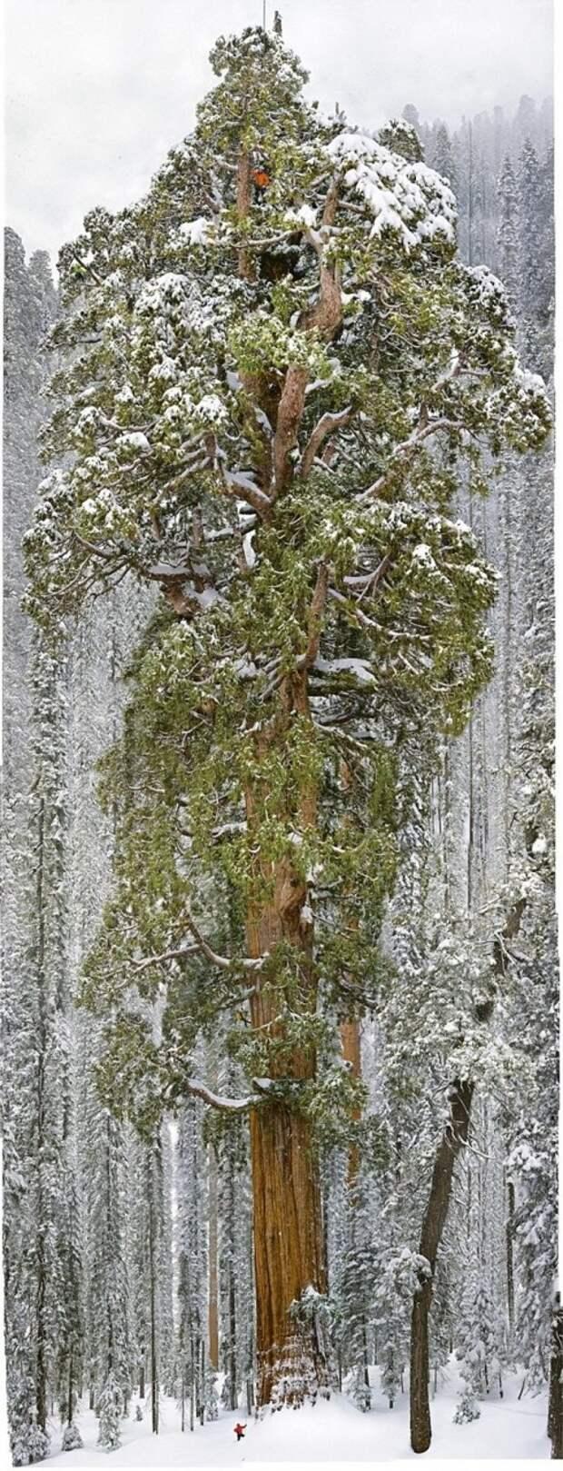 Чтобы заснять это дерево целиком, фотографам понадобилось 32 дня