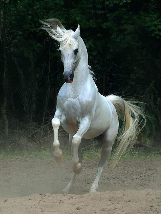 30. Для тех, кто не интересуется соревнованиями, арабские лошади подойдут просто для катания и работ