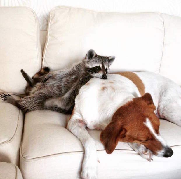 «Собачья жизнь» енота по имени Тыковка