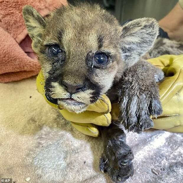 Пожарные спасли жизнь котенка горного льва. Кроха постоянно плакал…
