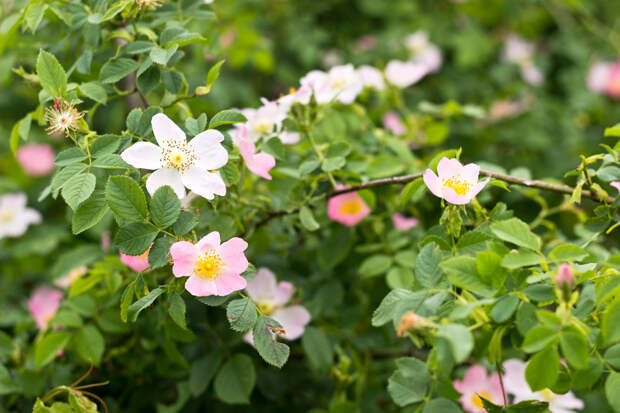 Wild Rose Care - Growing Tips And Types Of Wild Roses