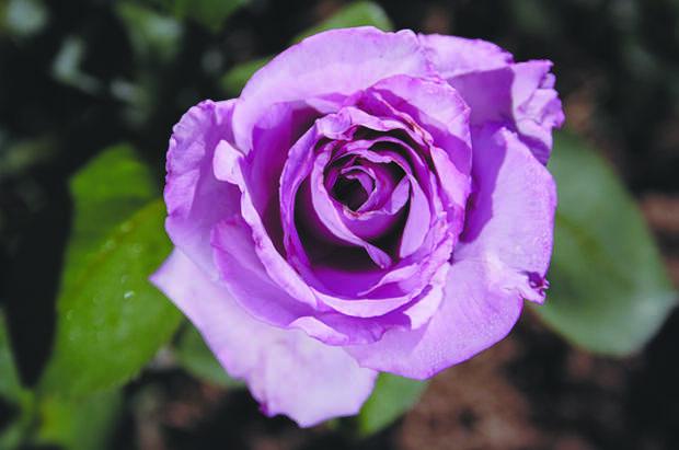 Диво дивное. Какие необычные цвета роз существуют