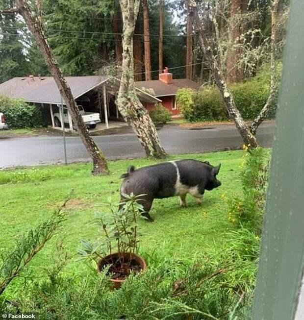 Потерявшаяся свинья забрела во двор к соседу и больше ее никто не видел вот это да!, и такое бывает, калифорния, наглость второе счастье, наглость соседи, свинья, соседи, сша