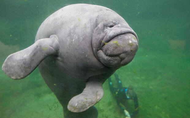 430-килограммовый ламантин в аквариуме Парижа