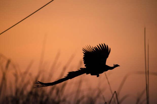 Как летают павлины