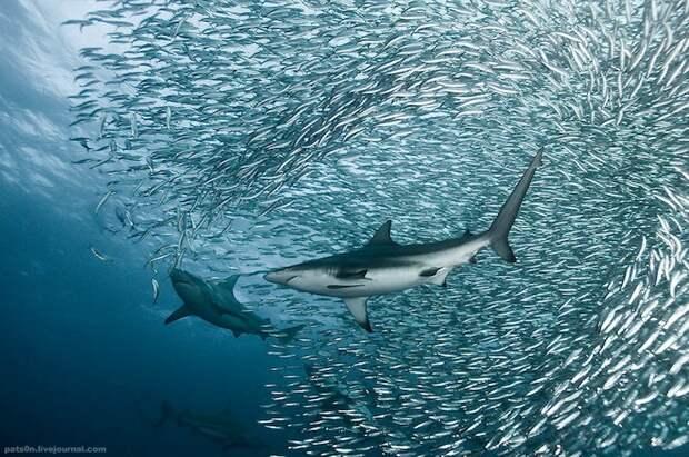 Подводная фотография Александра Сафонова
