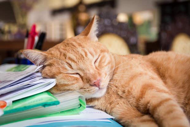 Коты находятся в состоянии сна 70% своей жизни. (stratman² (2 many pix!))