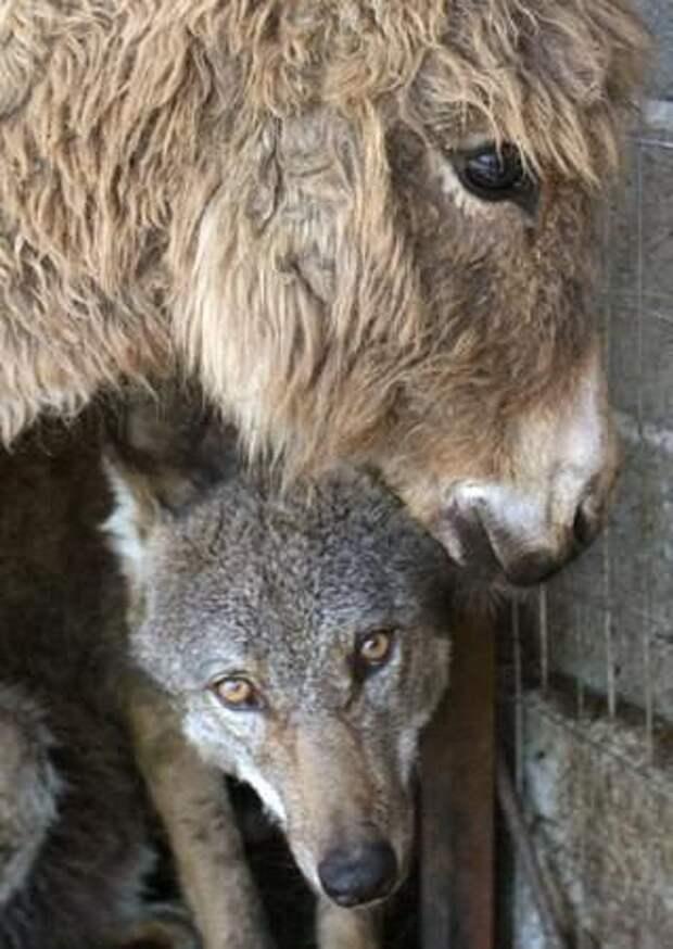 Чтобы накормить пойманого волчонка хозяева привели к нему в клетку ослика