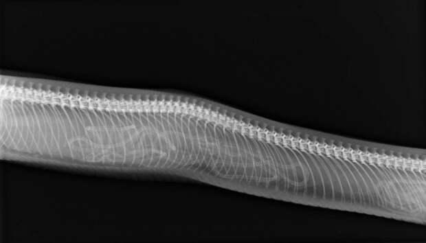 Кто в теремочке живет: рентгеновские снимки беременных животных