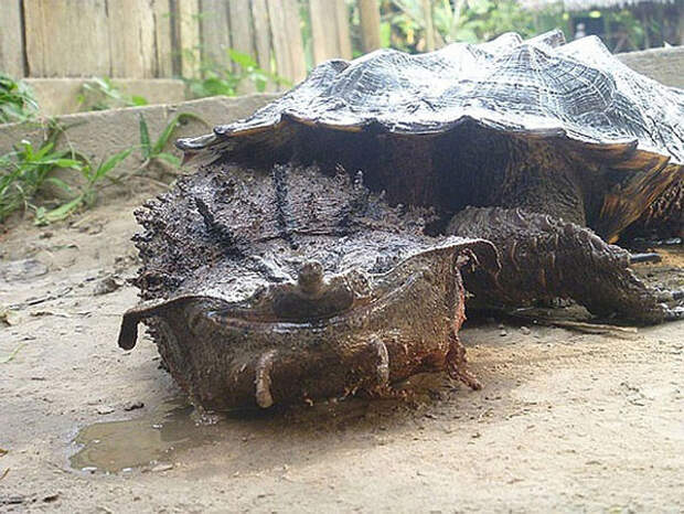 Matamata животные, фото