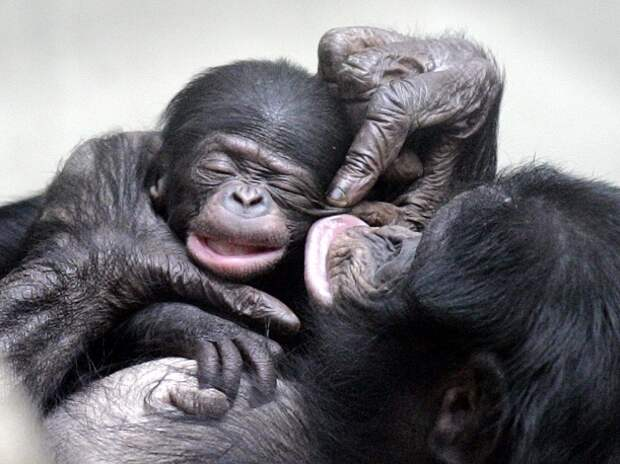 10 любопытных фактов про обезьян