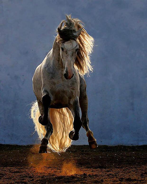 12. Андалузские лошади известны своей подвижностью и способностью быстро учить сложные движения, так