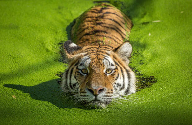 Тигры и их дикий животный магнетизм