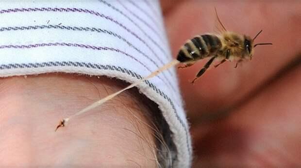 Укус пчелы  - жало остается в ранке