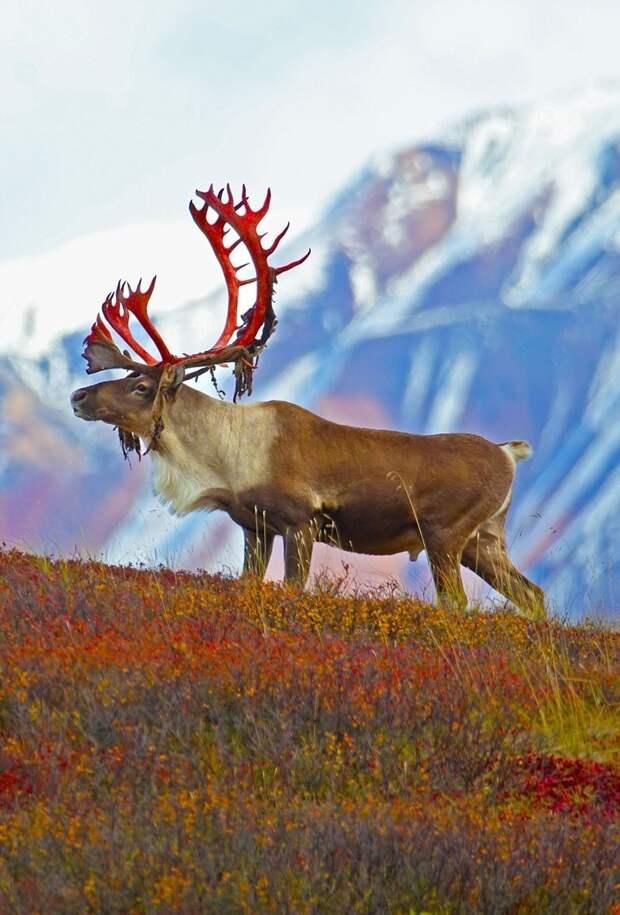 Олень, у которого слезает бархат с рогов, выглядит устрашающе бархат, олень, рога, слезает