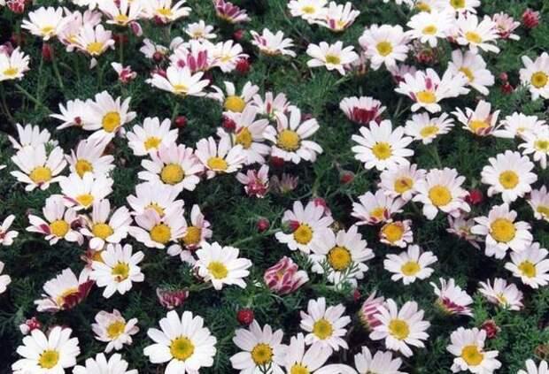 Анациклюс прижатый,фото с сайта original-garden.ru