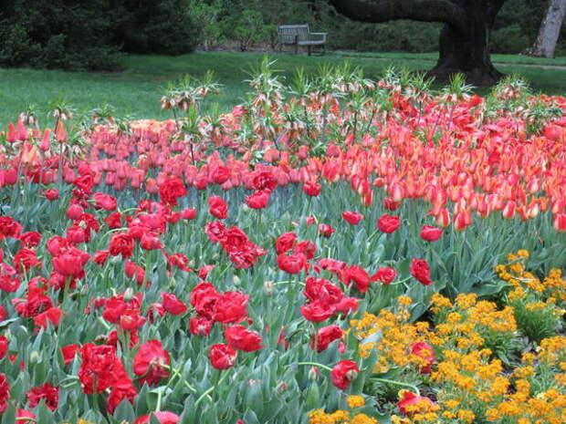 Рябчик императорский вместе с тюльпанами