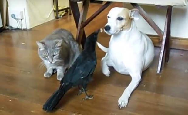 Заботливый ворон накормил и кошку, и собаку