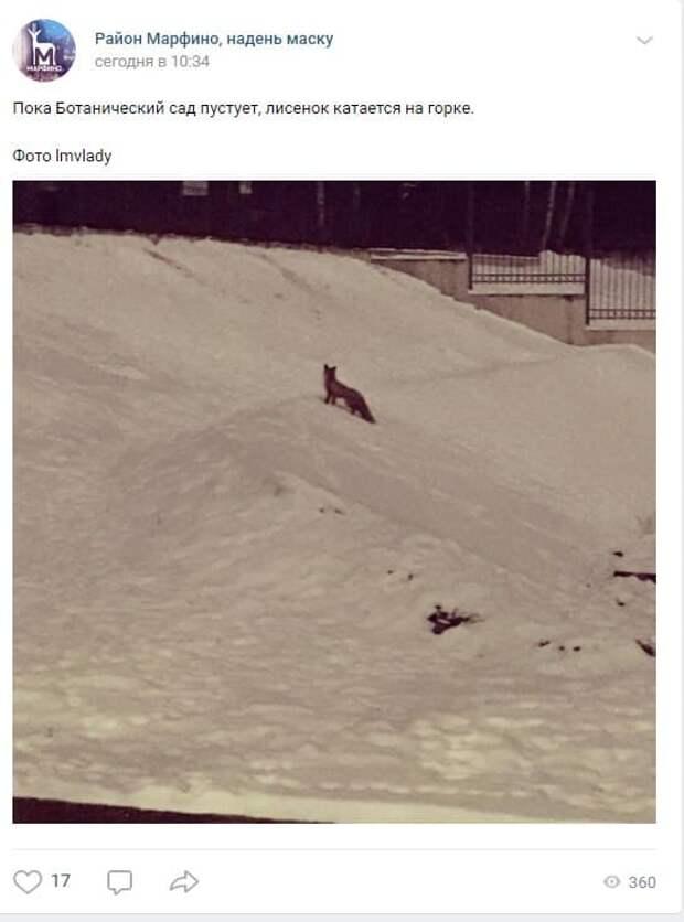 Фото дня: лисица скатилась с ледяной горки в Марфине