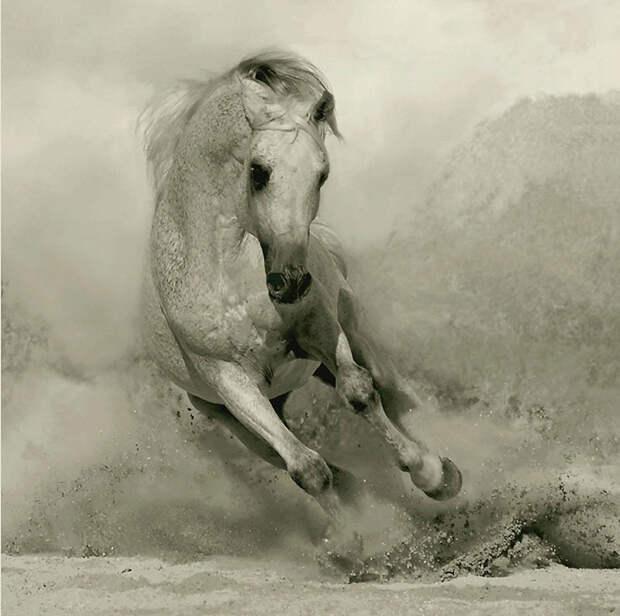 11. Как и в случае с другими теплокровными, чувственность и ум арабской лошади помогают ей быстро уч