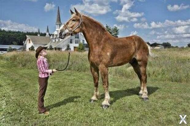 Большой Джейк - самая большая лошадь ...