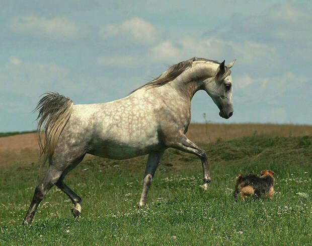10. Другие отличительные черты арабской лошади – это относительно длинный приподнятый круп и, естест