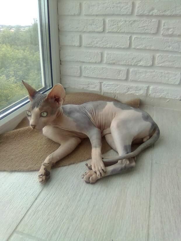 Хозяева наигрались с породистым котом и привезли его в приют кот, кошка, порода, приют, сфинкс